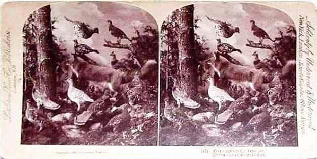card-34-1474-fox-capturing-grouse